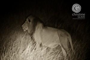 Lion before dawn
