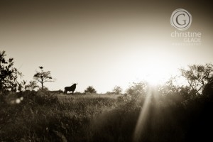 Blue Wildebeast at Sunrise